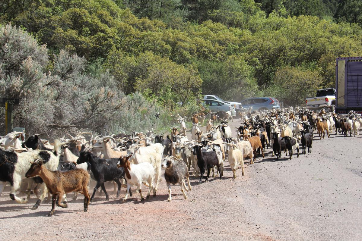 Goats Step In To Manage BLM's Sutey Ranch