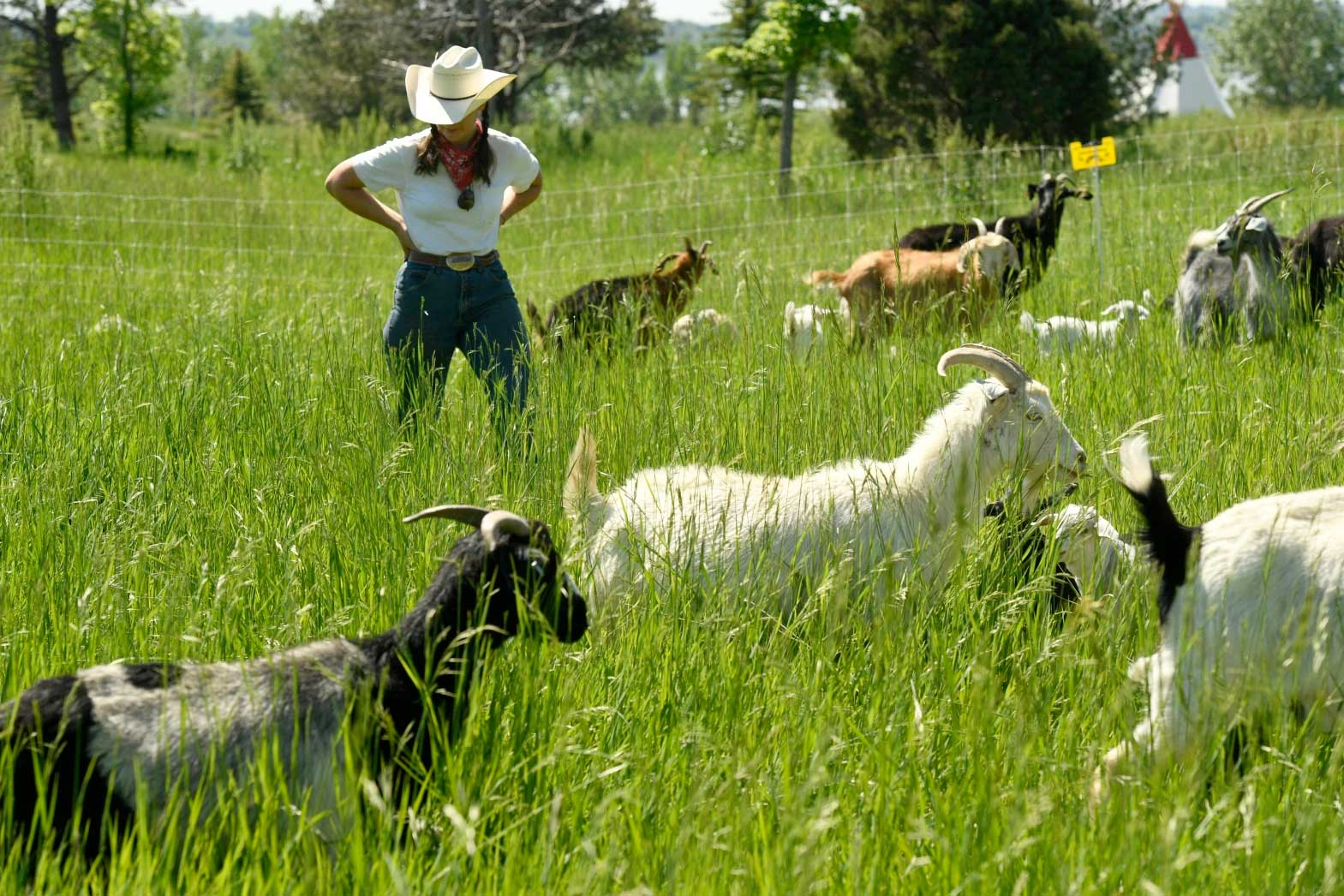 The Denver Post Here's why you might see hundreds of hungry goats while hiking at Standley Lake