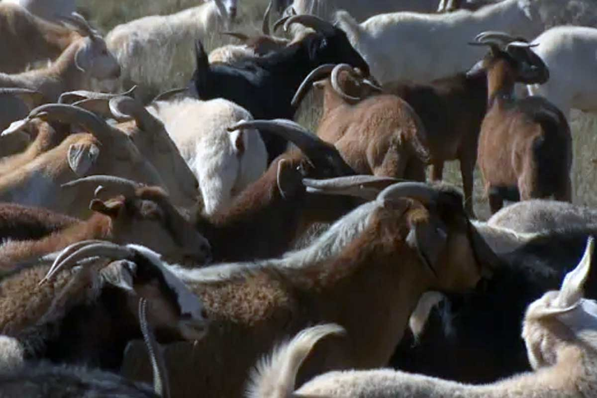 Goats Do More Than Eat Noxious Weeds, They Till And Fertilize Soil, Too